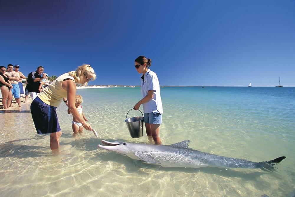 western australia Bottlenose dolphin at Monkey Mia - 遨游西澳大利亚海洋