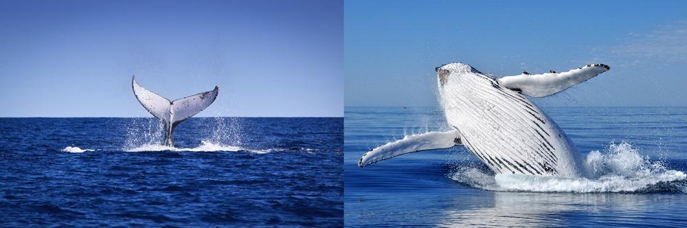 western australia whales - 遨游西澳大利亚海洋