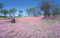 discover western australia wildflower seasons  240x150 - 到西澳去感受赏花海的浪漫