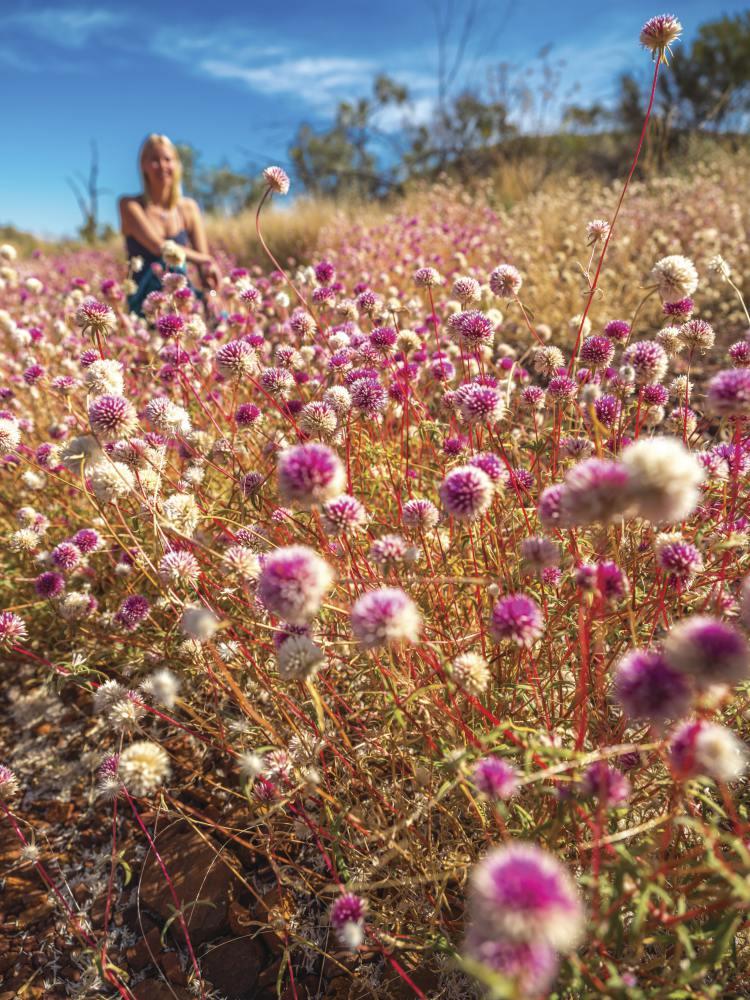 discover western australia wildflower seasons Karijini National Park Batchelors Buttons Karijini National Park  - 到西澳去感受赏花海的浪漫