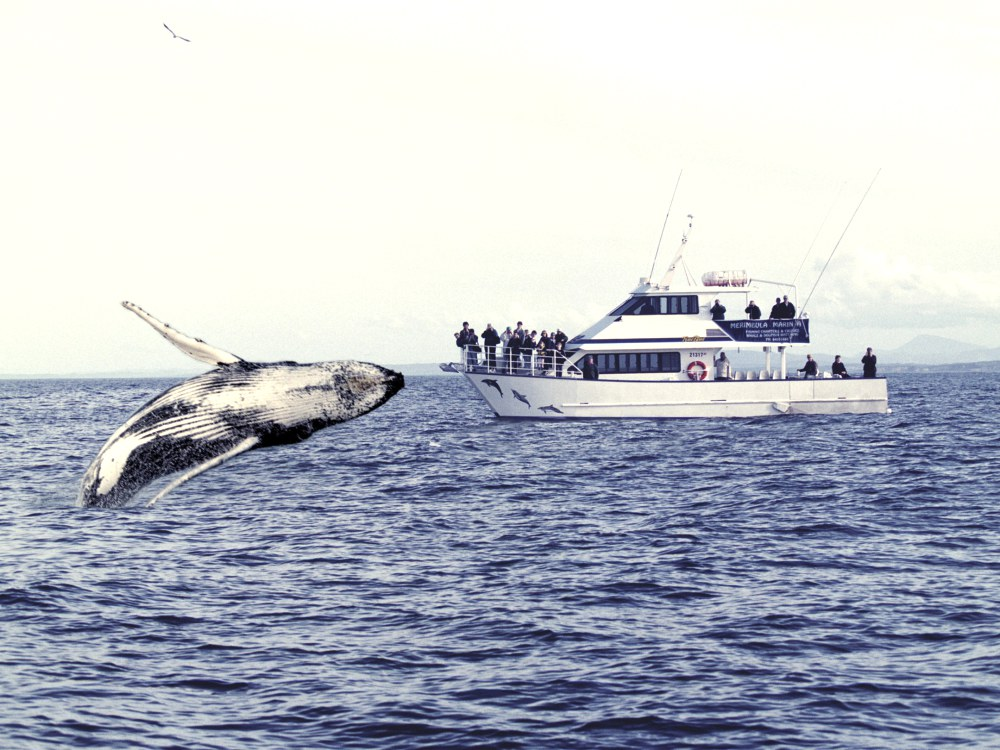 whale watching spots in sydney and nsw 1 - 澳洲赏鲸景点大公开!