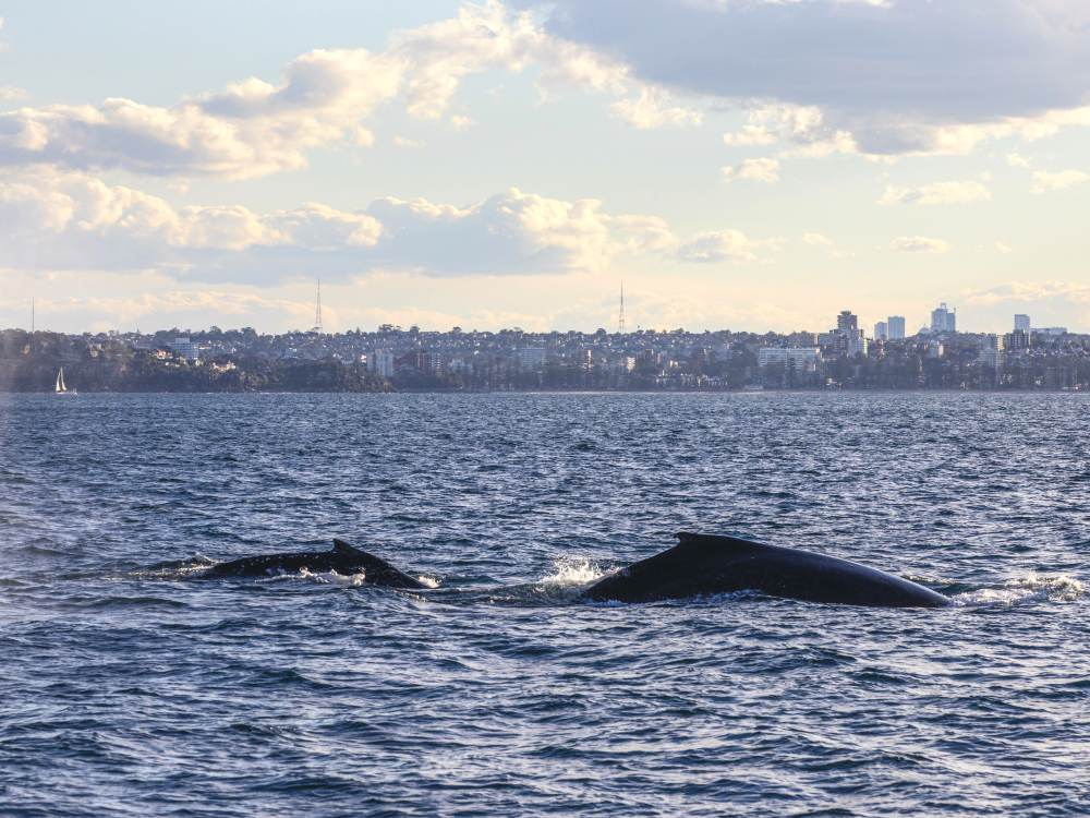 whale watching spots in sydney and nsw 11 - 澳洲赏鲸景点大公开!