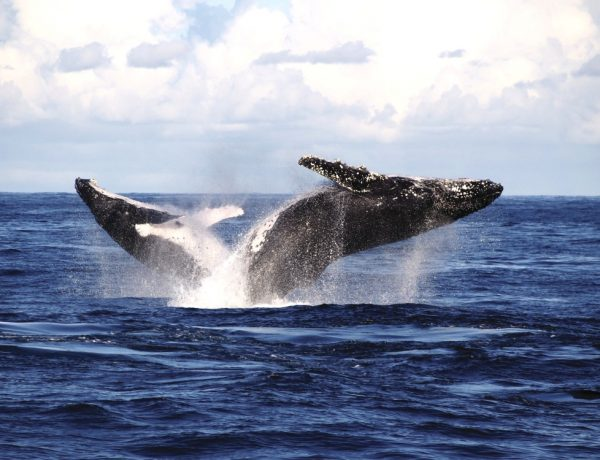 whale watching spots in sydney and nsw 8 600x460 - 澳洲赏鲸景点大公开!