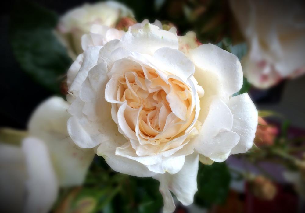 Rolls Royce Rose 008 - 只为劳斯莱斯绽放 - Rolls-Royce Rose