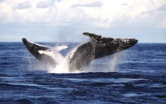 whale watching spots in sydney and nsw 8 240x150 - 澳洲赏鲸景点大公开!